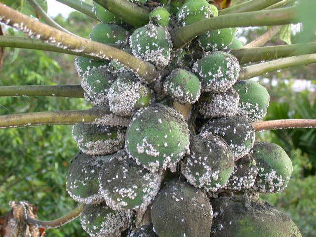 Papaya Disease Pictures
