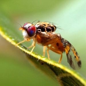 fruitfly