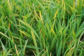 Wheat streak mosaic KSU(1)