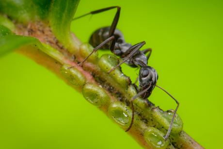 ant nectar 1