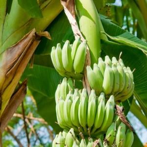 bananas 3