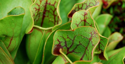pitcher-plant-top