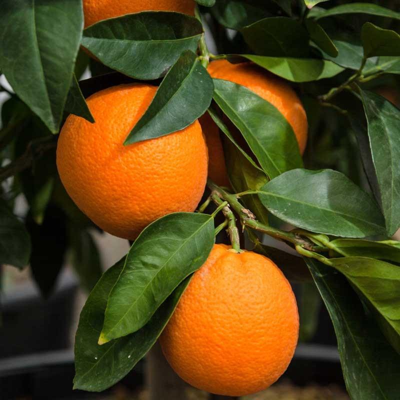 valencia orange-11