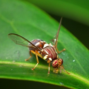 Queensland_Fruit_Fly_-_Bactrocera_tryoni-300x298