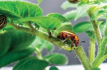 Colo pot beetle rnai