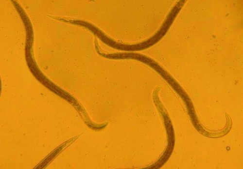Nematode worms