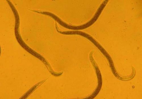 Nematode worms