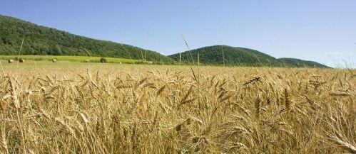 wheat rust 2