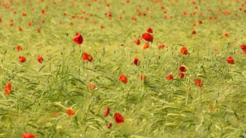 poppies-in-barley©TS-615x346