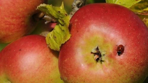 ladybug-apple