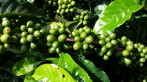 Moniliasis-cocoa-disease-threat-spurs-Peru-green-coffee-ban-in-Brazil_strict_xxl