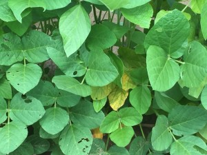 soybean disease MS