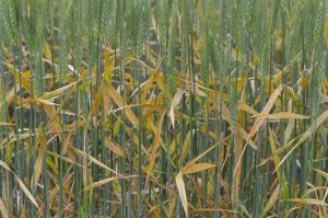 Stripe rust NE