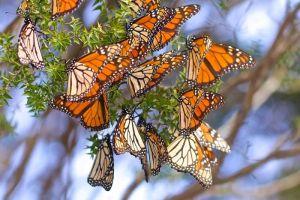 Monarch Aust