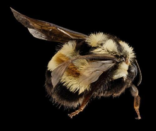 bumble-bee-1