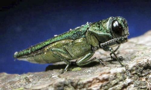 emerald-ash-borer