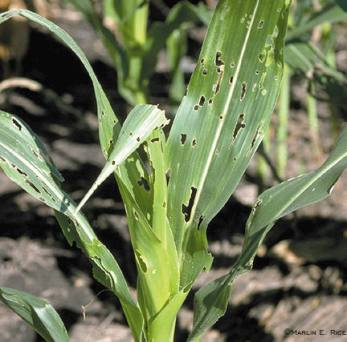 FAW on corn leaves