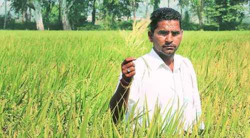 basmati-farmer