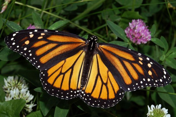female monarch 768870-3x2-700x467