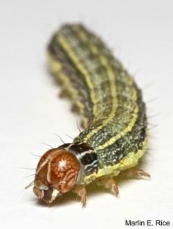 fall-armyworm-frontal-MER-563x744
