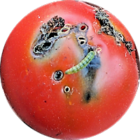 tuta larva on tomato (2)