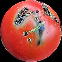 tuta larva on tomato (2)