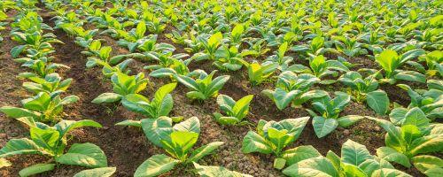 tobacco-plants-banner-x