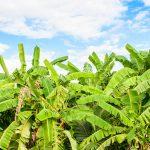 Banana-shutterstock_229416208-150x150
